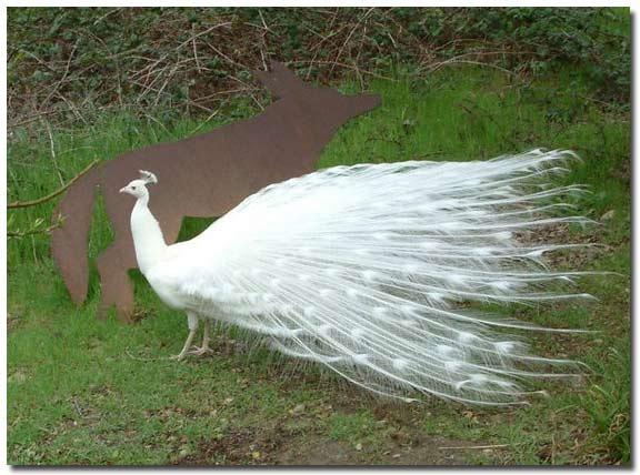 Peacock 7