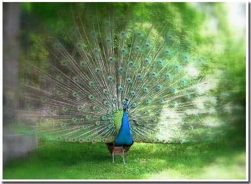 Peacock 10